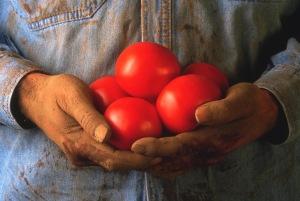 hands holding tomatoes gardner dirt V316